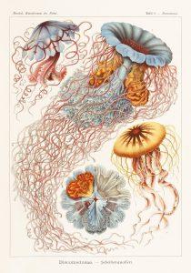 Bildunterschrift: Nesseltiere || Kunstformen der Natur, 1899–1904, Tafel 8 || Copyright: © TASCHEN Köln/Niedersächsische Staats- und Universitätsbibliothek Göttingen