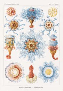 Bildunterschrift: Nesseltiere und Staatsquallen Kunstformen der Natur, 1899–1904. Copyright: © TASCHEN Köln/Niedersächsische Staats- und Universitätsbibliothek Göttingen