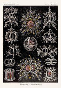 Bildunterschrift: Strahlinge Kunstformen der Natur, 1899–1904, Tafel 71 || Copyright: © TASCHEN Köln/Niedersächsische Staats- und Universitätsbibliothek Göttingen